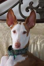 The Ibizan Hound Dog Journal