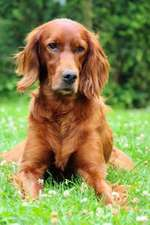 The Irish Setter Dog Journal