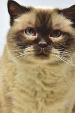 British Shorthair Cat Journal Do Your Levels of Cruelty Know No Bounds?