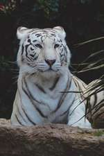 White Bengal Tiger Portrait Journal