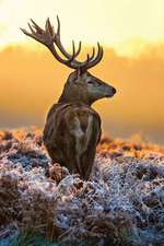 Stag in the Frost Journal
