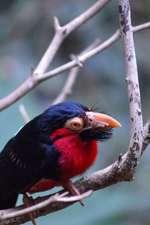 Bearded Barbet Bird Journal