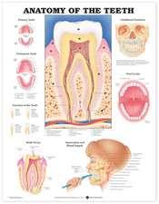 Anatomy of the Teeth Anatomical Chart