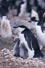 Chinstrap Penguin Notebook